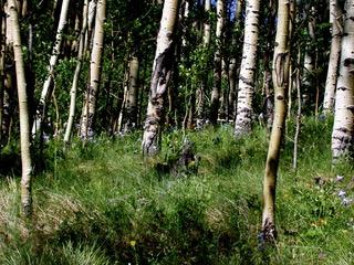 Aspens and Columbine in Colorado
