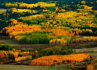 Colorado Aspen Colors in Valley