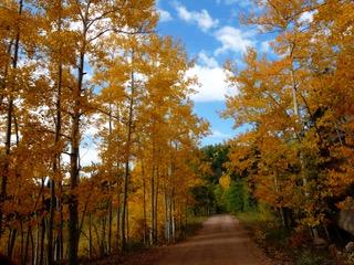 Colorado Autumn Aspen Trees